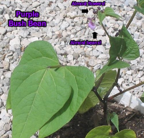 My Purple Bush Bean - 