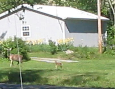 Doe and Fawn - 
