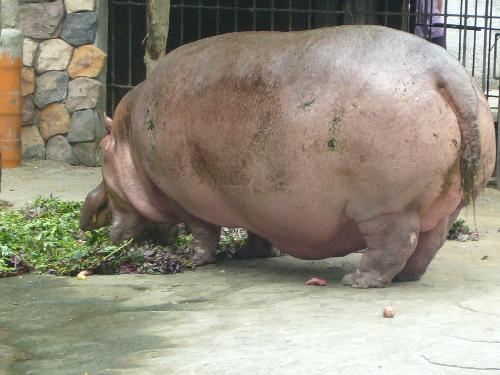 the hippo - fatso the hippo in glutounous ecstasy