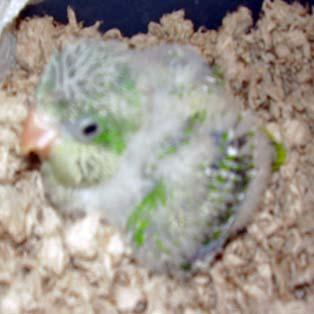 Quaker - My new baby green quaker