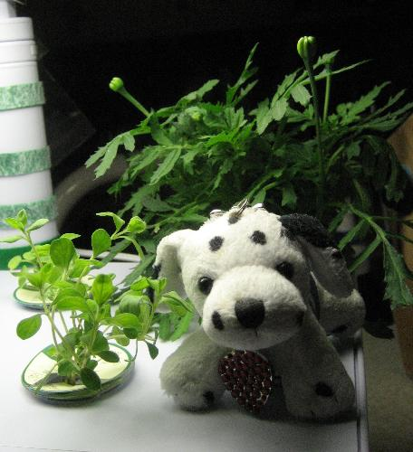 I Woof You! - Yeppers, that is what that little guy says to the plants in our AeroGarden, and maybe that is part of the reason they grow so fast. On the other hand, that is what little BlueToof says to everybody. It is the only phrase he knows.  The marjoram came from the produce department of Smith's a little before Christmas, and it probably sets a longevity record for plants that have survived in my alleged care. When it was time to leave our winter home, we couldn't bring potted plants along on our vacation so I cut them back and put the cuttings in water to root over the four days we were on the road.