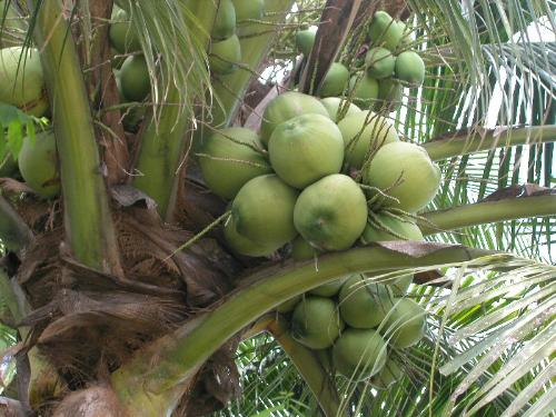 tender coconut - A picture showing tender coconut tree