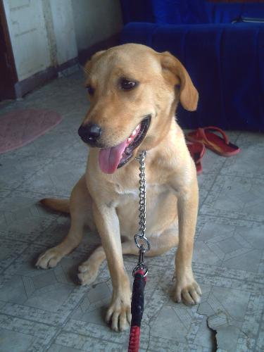 kimy - this is our pet kimy..she is a labrador