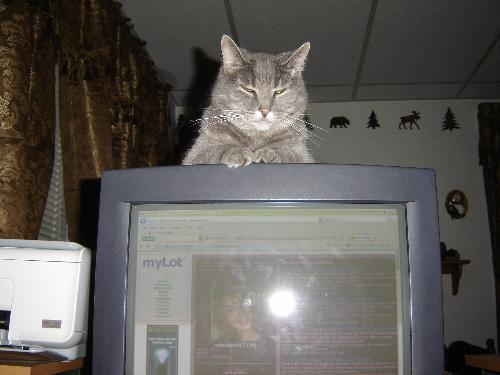 Cat on Computer - This is my cat, Willow, sitting on top of the computer monitor while I am Mylotting.