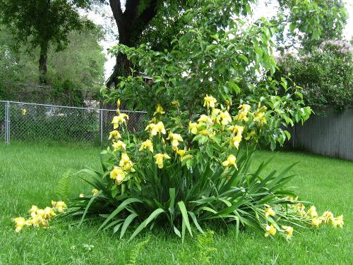 Irises and Apple Tree - My Haralred apple tree surrounded by blooming irises