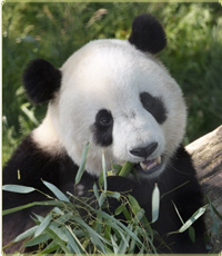 Giant Panda Bear - a zoo animal that is so pretty