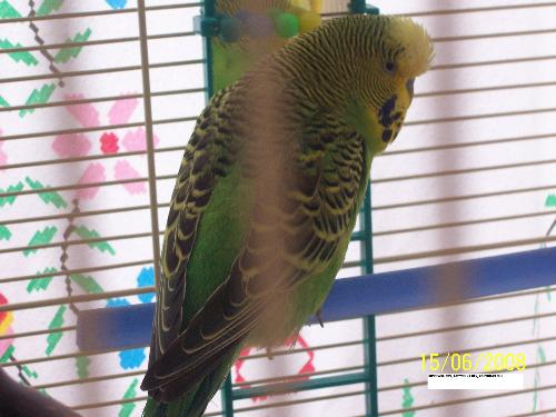George, the cheeky little Budgie - He left me unable to speak a word, now he never shuts up!