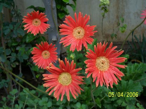 A real flower - It is a pic of a flower i love from my garden in my homw in Iraq which i leave it now and live in Egypt cos of the war