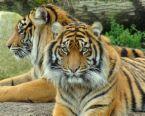 tigers - Cute tigers