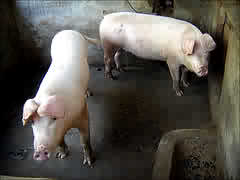 cleaning the pig-pen - pigs will be pigs! eat like a pig, act like a pig!