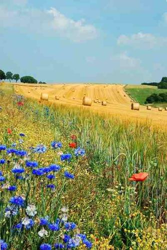 Summer Flowers - Poppies and cornflowers growing in the fields