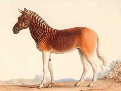 Quagga half zebra, half horse - One of Africa's most famous extinct animals, the quagga was a subspecies of the plains zebra, which was once found in great numbers in South Africa's Cape Province and the southern part of the Orange Free State.