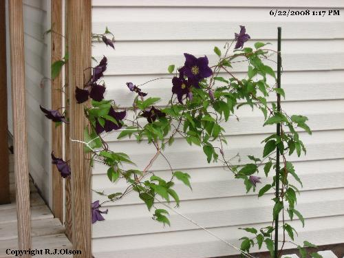 Clematis Blooming Fully - Over a dozen flowers on the cleamtis this year compared to a few last year