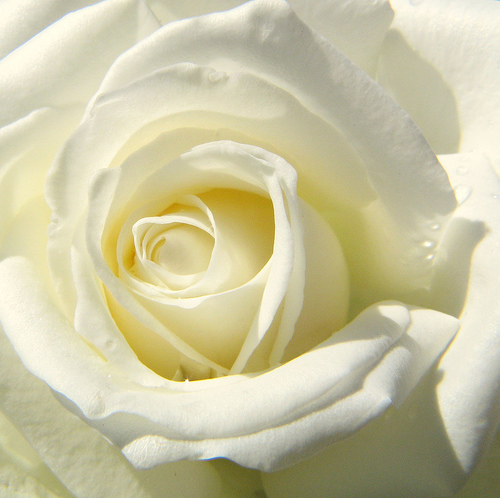 white rose - ugh.. just got to love white roses. hehe.
