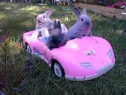 bunnies - Bunnies driving.