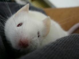 Ianto - My pet mouse Ianto