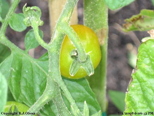 Finally - Finally some of my tomatoes are turning red
