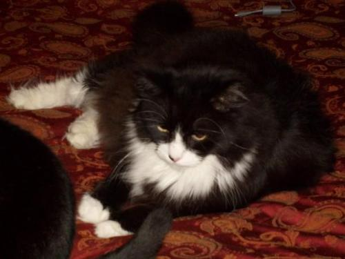 Wally - This is my cooon cat. He is 25lbs and may or maynot need a hair cut for the summer.