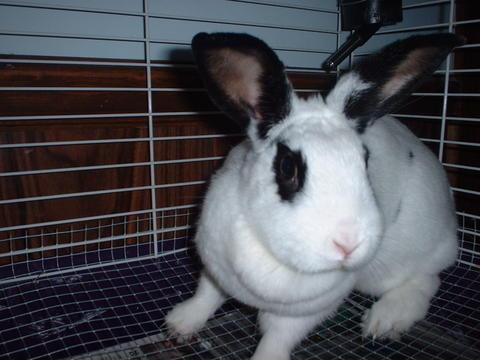 Pet Bunny - Pet rabbit