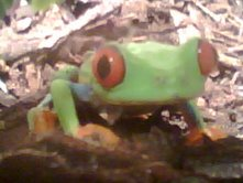 Frog! - Picture of Frog!, right after getting home from the Reptile Expo