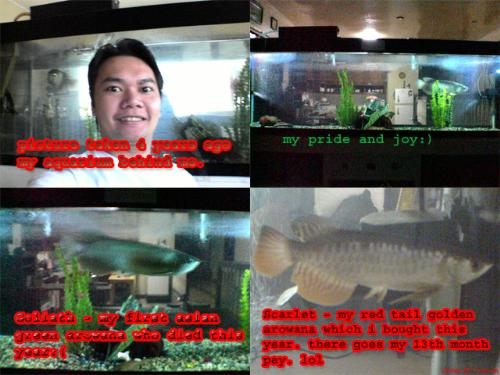 my aquarium. please click picture to enlarge - my 7 feet aquarium with my 24 inches green arowana who passed away. scarlet which i bought this year was actually more expensive than the actual setup and my deceased Goliath. don't ask me how much is left from my savings. because there is none.