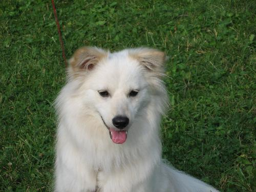 Wiley  - Wiley is an eskimo spitz and part of our family