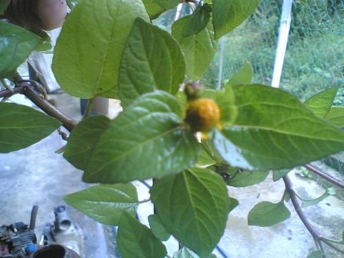 Toothache Plant - Toothache plant called spilanthes acmella.