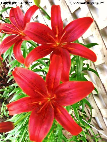 Asiatic Lily - This is the last color of my Lilies to open this year.