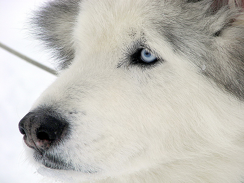 white siberian husky - one of the dog breeds, that looks like fox, and can live with cold climate.