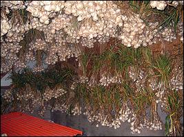 Garlic-healing plant - Very effective herb