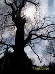 old trees - old tree!old tree