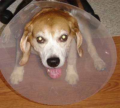 Max with his Cone - This is my poor little beagle, Max, with a cone on his cute little head.