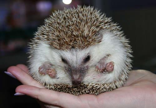 Hedgehog - Cute little ball of spikes