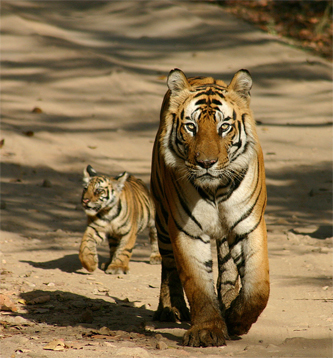 Tiger walk with cub - celebration of new life!