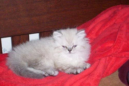 Lady Eva - Lady Eva is a beautiful lynx persian