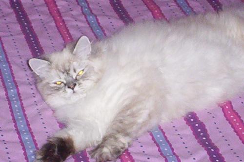 Lady Eva - Lady Eva is a beautiful Lynx Persian. She will be ready for breeding in Nov 08.