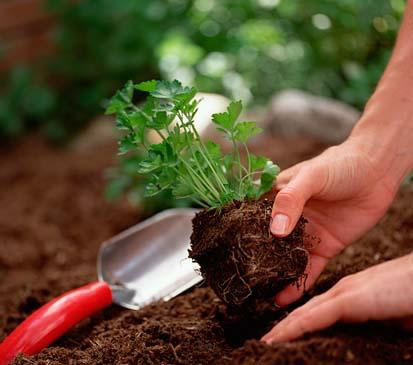 parsley in garden - would you love to have a parsley plant in your garden?