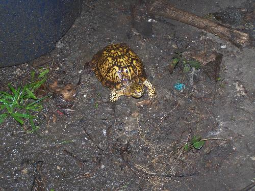 Turtle By My House - My son found this little guy and now I need help finding out what kind of turtle it is.