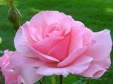 Pink Rose - Photo Of Pink Rose ....A variety of rose .