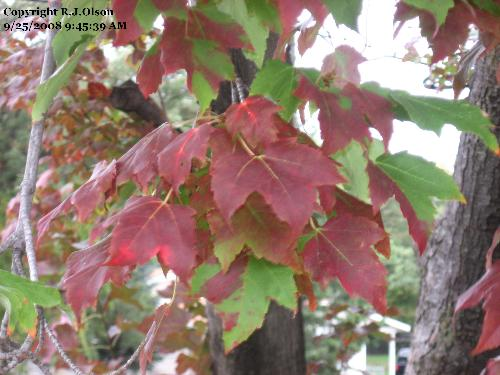 Red maple - the leaves are getting very red and starting to fall a lot more now.