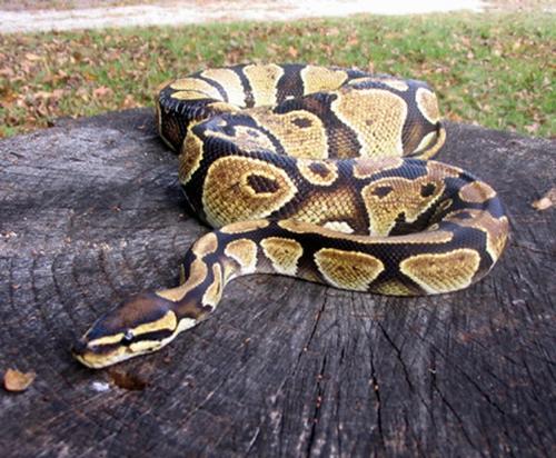 Ball Python... - Ball Python...