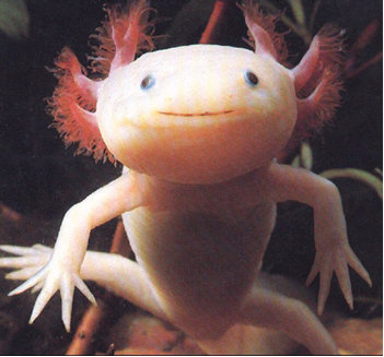 Cold Water Fish on Axolotl Also Spelled As Axolotyl Is A Cold Water Fish