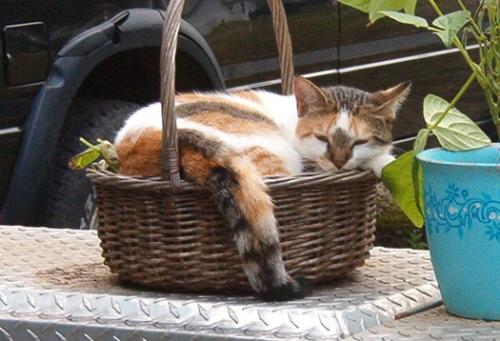 Shirley in the Basket -  Shirley decided to take over one of the baskets that I had beans growing in. Silly kitty.