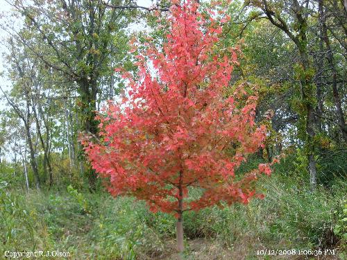 Lonesome Red - A lone red leafed tree