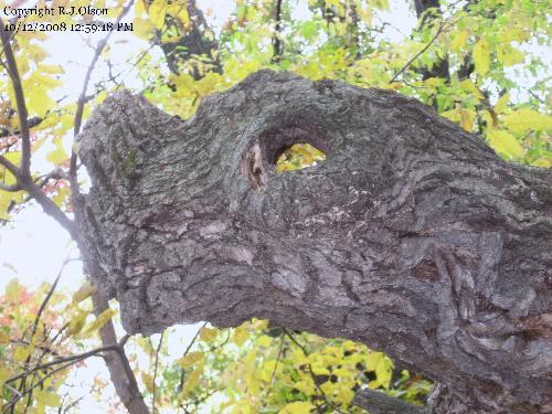 Dragon Tree? - Looks like a smashed nose on a dragon to me.