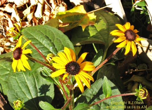 Coneflowers - Still blooming even after a few days below freezing in Minnesota.