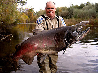 Big salmon fish  - Gigantic Salmon Found in California River