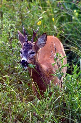 yummie deer meat - fresh meat
