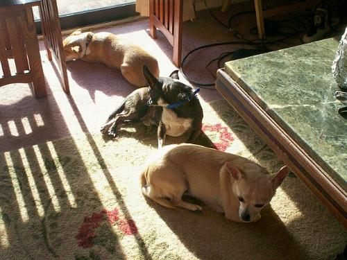My Three Chihuahuas Napping - Schatzie, Pepi and Honey