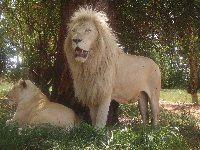 Lion - This is one of the Lions, used as actors in movies produced in South Africa
